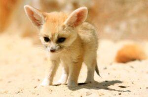 Fennec-fox-listice