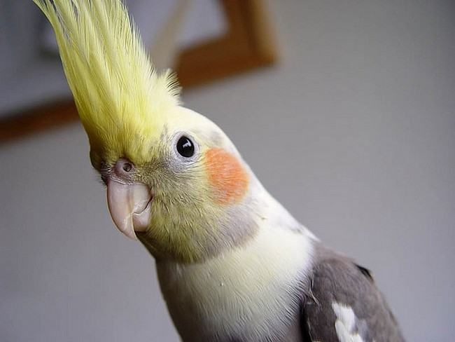Cockatiels-bird-listice