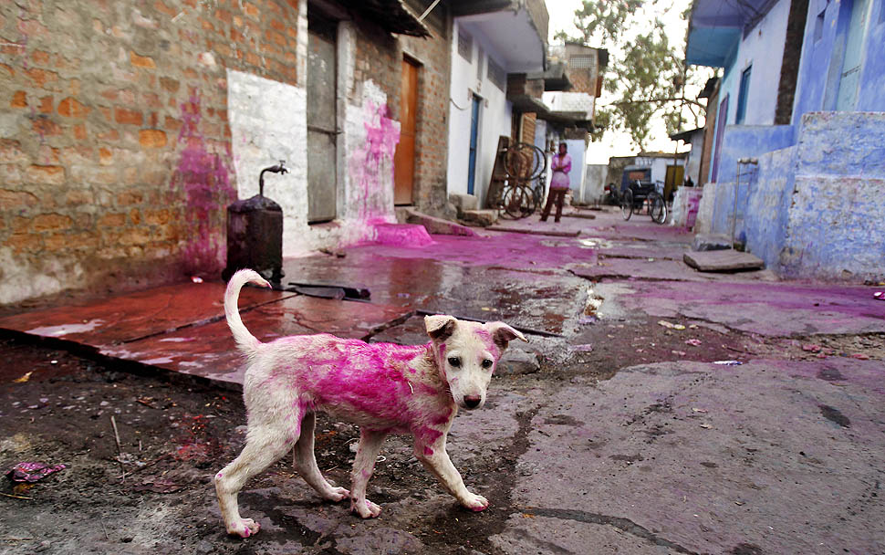 Dog with Holi Color